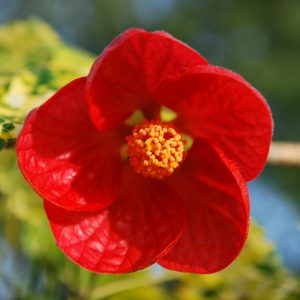 Abutilon Cannington Carol