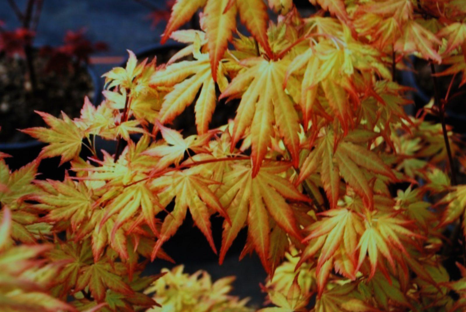 acer palmatum orange dream let 39 s go planting. Black Bedroom Furniture Sets. Home Design Ideas