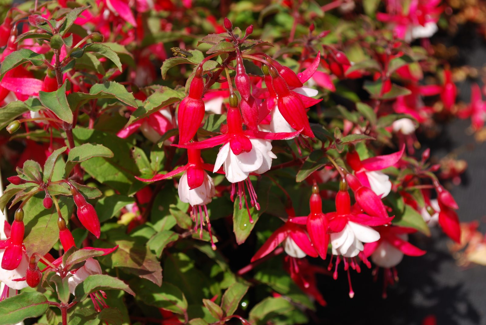 Fuchsia Alice Hoffman Hardy Fuchsia Shrubs For Sale Letsgoplanting