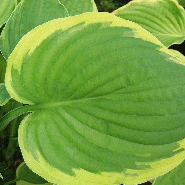 Hosta Aureomarginata Lets Go Planting