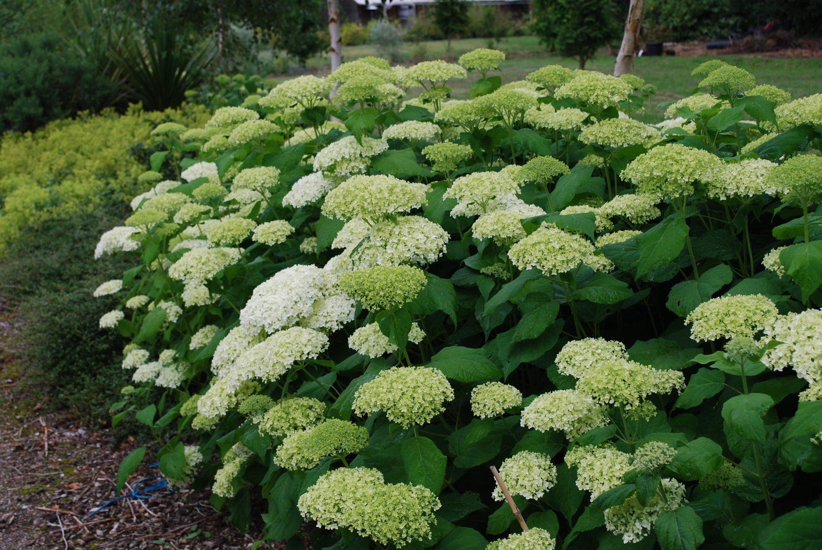 hydrangea arborescens annabelle let 39 s go planting. Black Bedroom Furniture Sets. Home Design Ideas