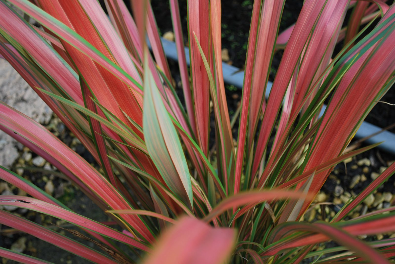 Picture of Live Fiesta New Zealand Flax aka Phormium Jester Shrubs Plant Fit 5 Gallon Pot