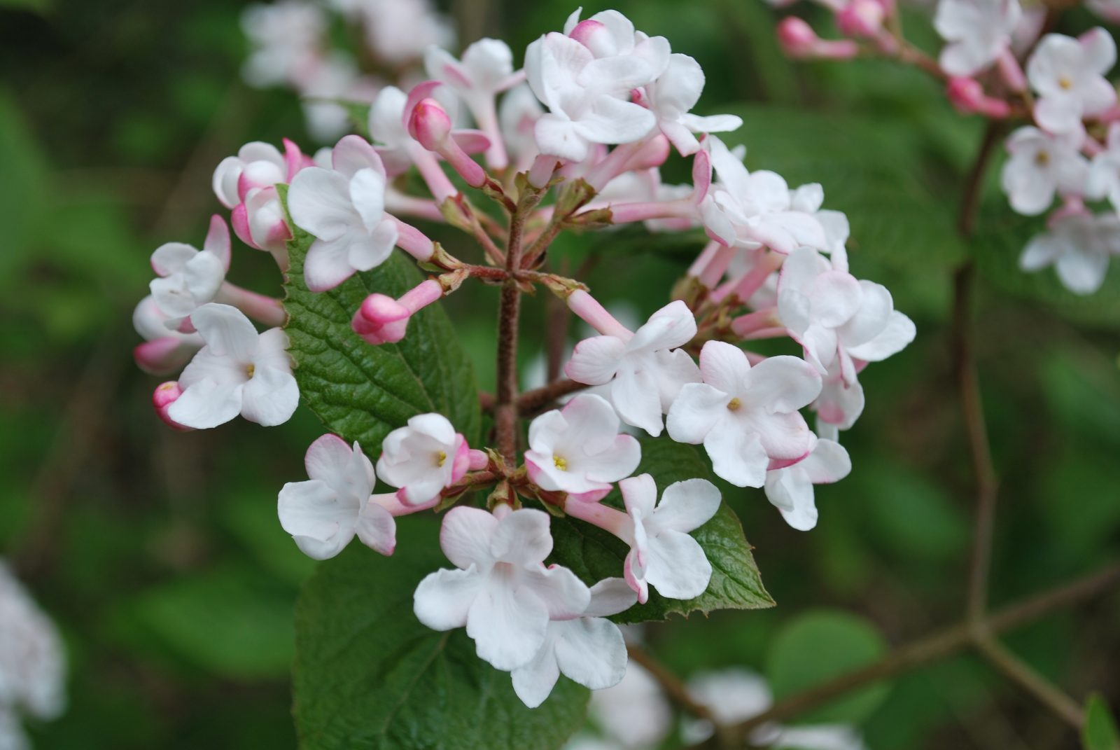Viburnum X Burkwoodii Anne Russell Lets Go Planting