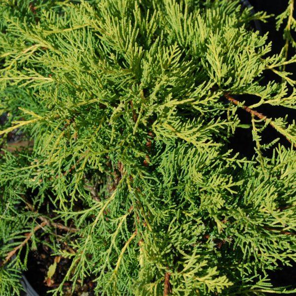 Juniperus X Media Pfitzeriana Aurea