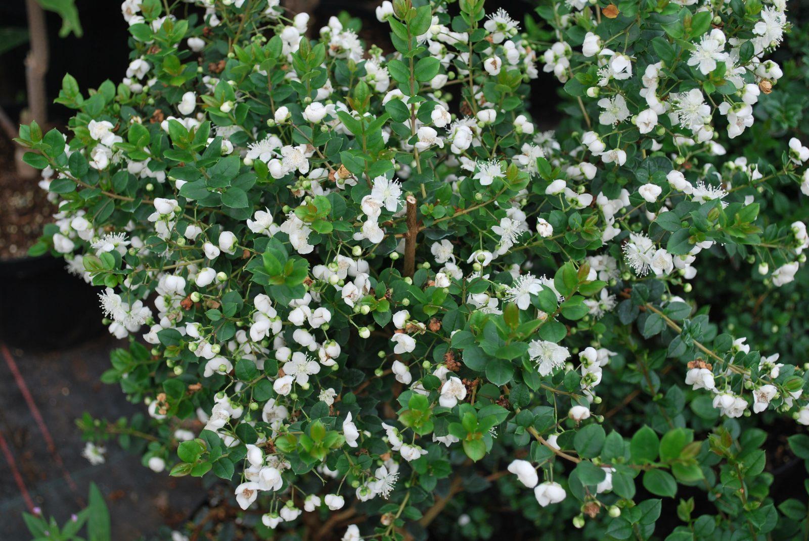Myrtus ( Luma ) Apiculata