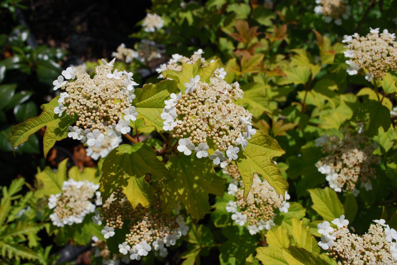 Viburnum Opulus Aureum