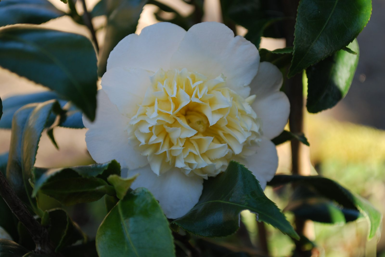 Camellia Jurys Yellow