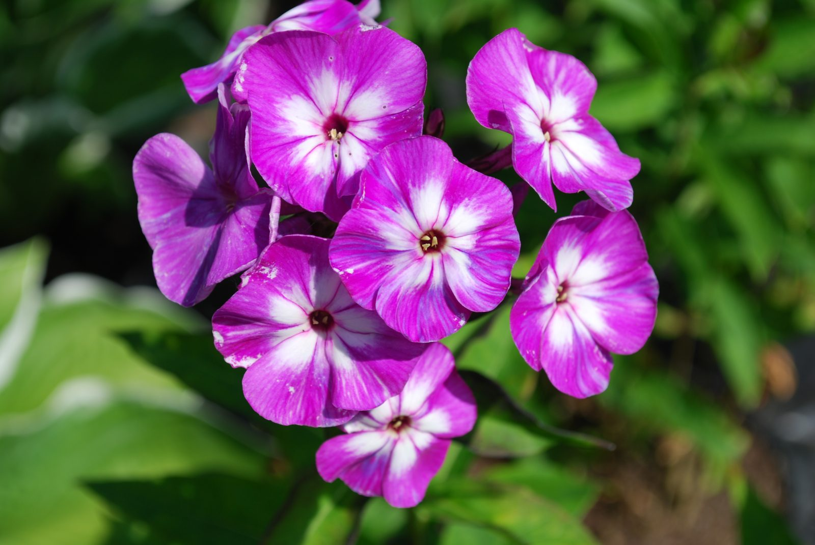 Phlox Paniculata Purple Kiss