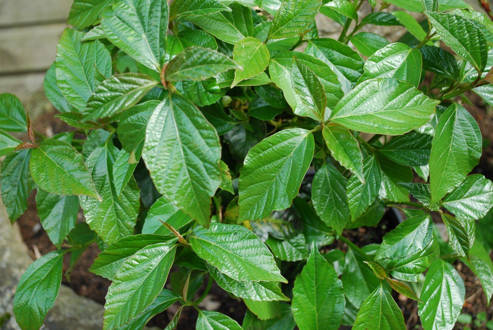 Viburnum Odoratissimum 'Emerald Lustre'