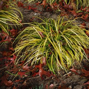 Carex Everillo, garden Grass
