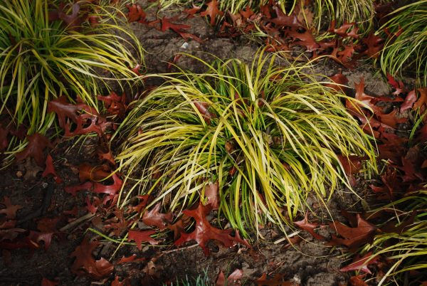 Carex Everillo, garden Grass
