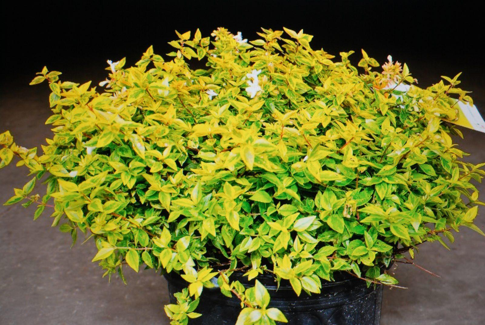 Abelia Kaleidoscope Garden Shrub For Sale Uk Letsgoplantingcouk