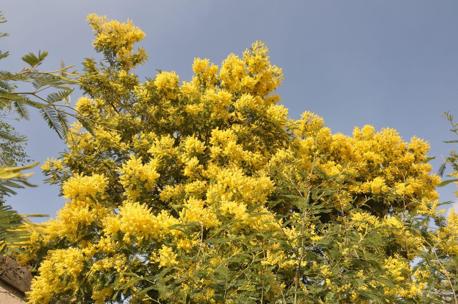 Acacia Dealbata Garden Shrub For Sale Uk Letsgoplantingcouk