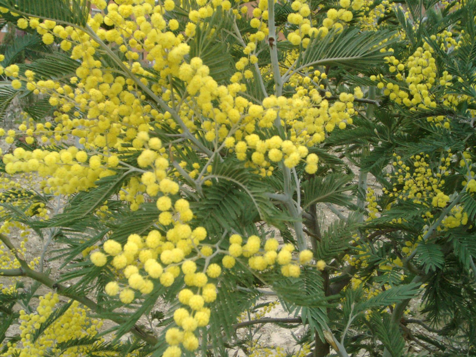 Acacia Dealbata Garden Shrub For Sale Uk Letsgoplantingcouk