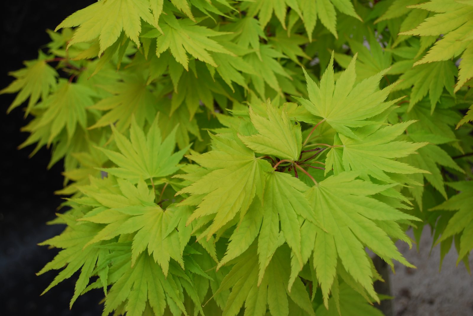 Acer Shirasawanum Jordan Small Garden Tree For Sale Uk