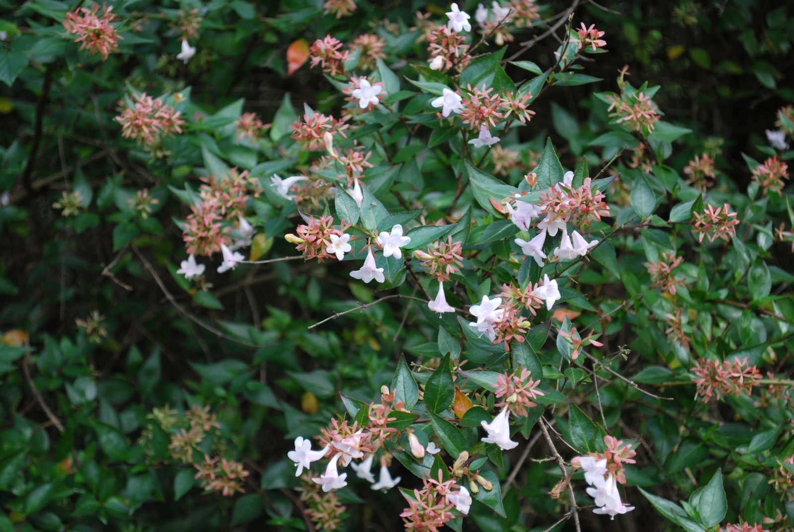 Abelia Grandiflora Garden Shrub For Sale Uk Letsgoplanting Couk