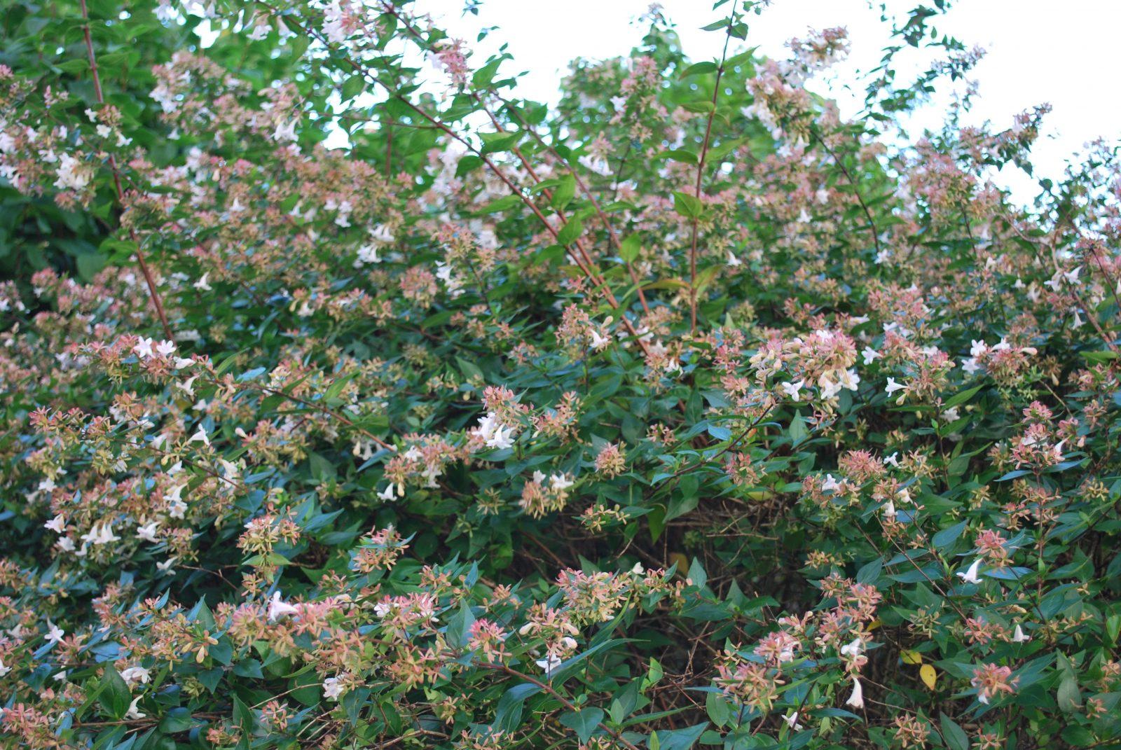 Abelia Grandiflora Garden Shrub For Sale Uk Letsgoplanting Couk