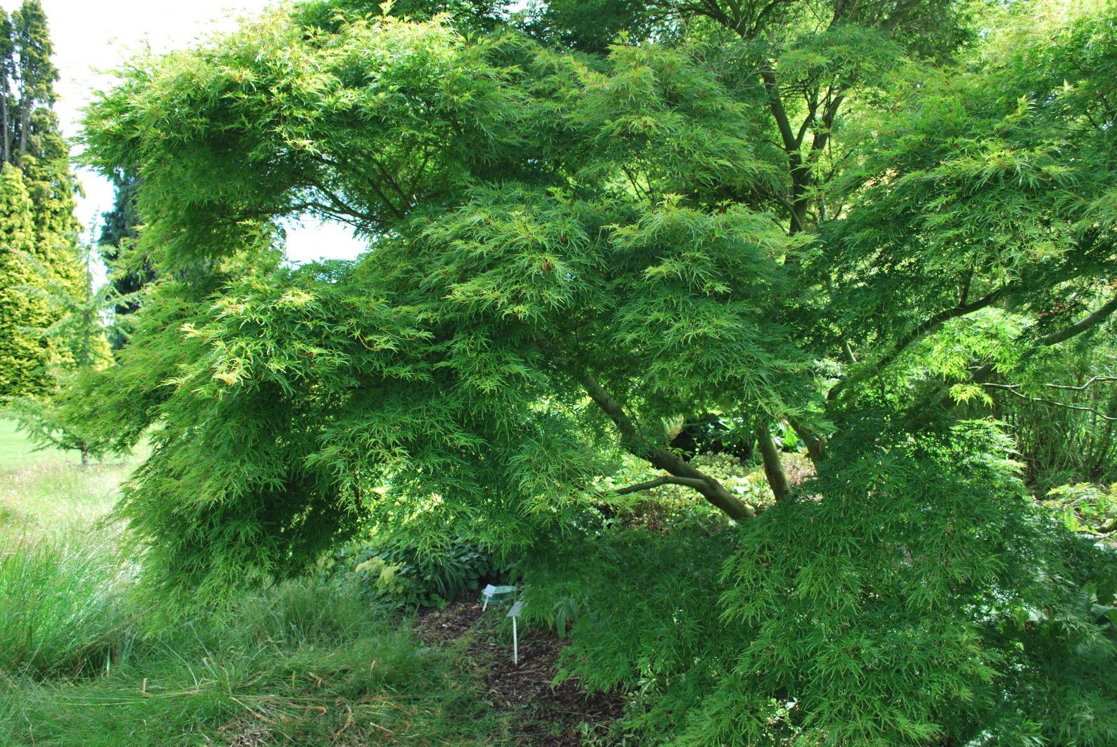 Acer Palmatum Dissectum Garden Shrub For Sale Uk Letsgoplantingcouk
