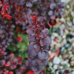 Berberis Red Lady