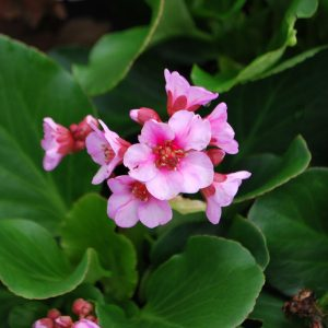 Bergenia Autumn Magic