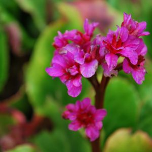 Bergenia Abenglut (Evening Glow)