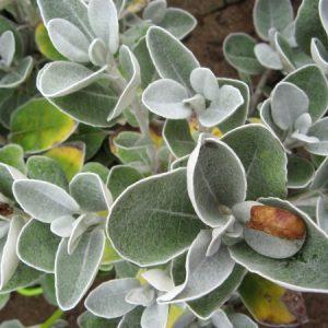 Brachyglottis Silver Doormouse
