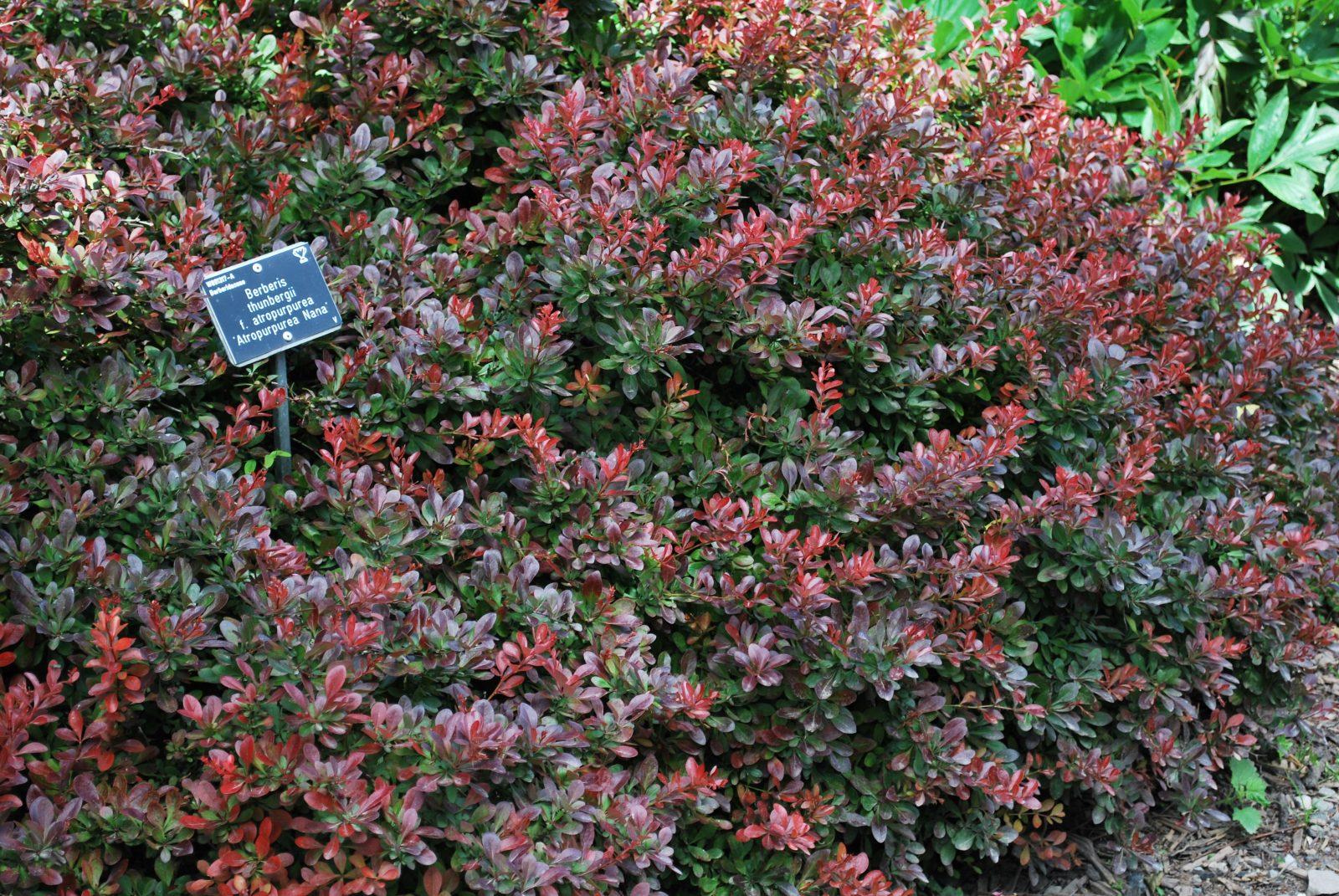 berberis thunbergii atropurpurea nana let 39 s go planting. Black Bedroom Furniture Sets. Home Design Ideas