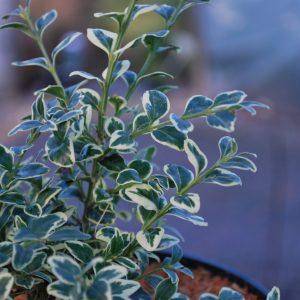 Buxus Sempervirens 'Elegantissima'