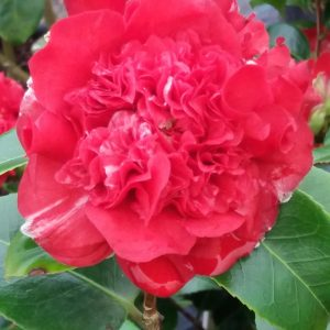Camellia Ruby Wedding