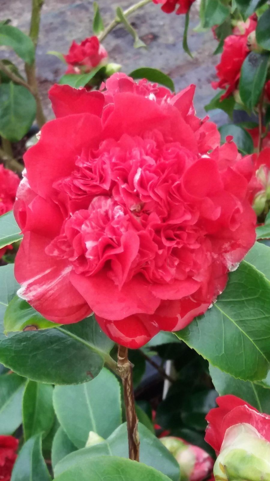 Camellia Ruby Wedding