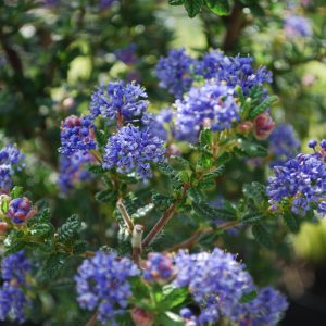 Ceanothus Pugets Blue