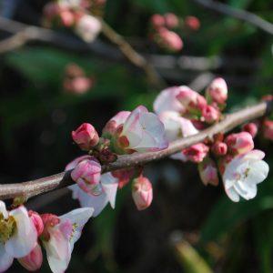 Chaenomeles Speciosa Apple Blossom