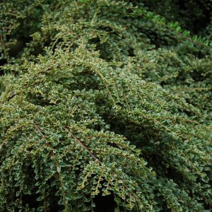 Cotoneaster Horizontalis Variegata