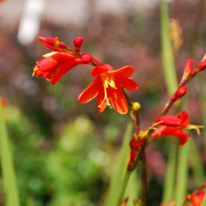 Crocosmia X Crocosmiiflora Red King