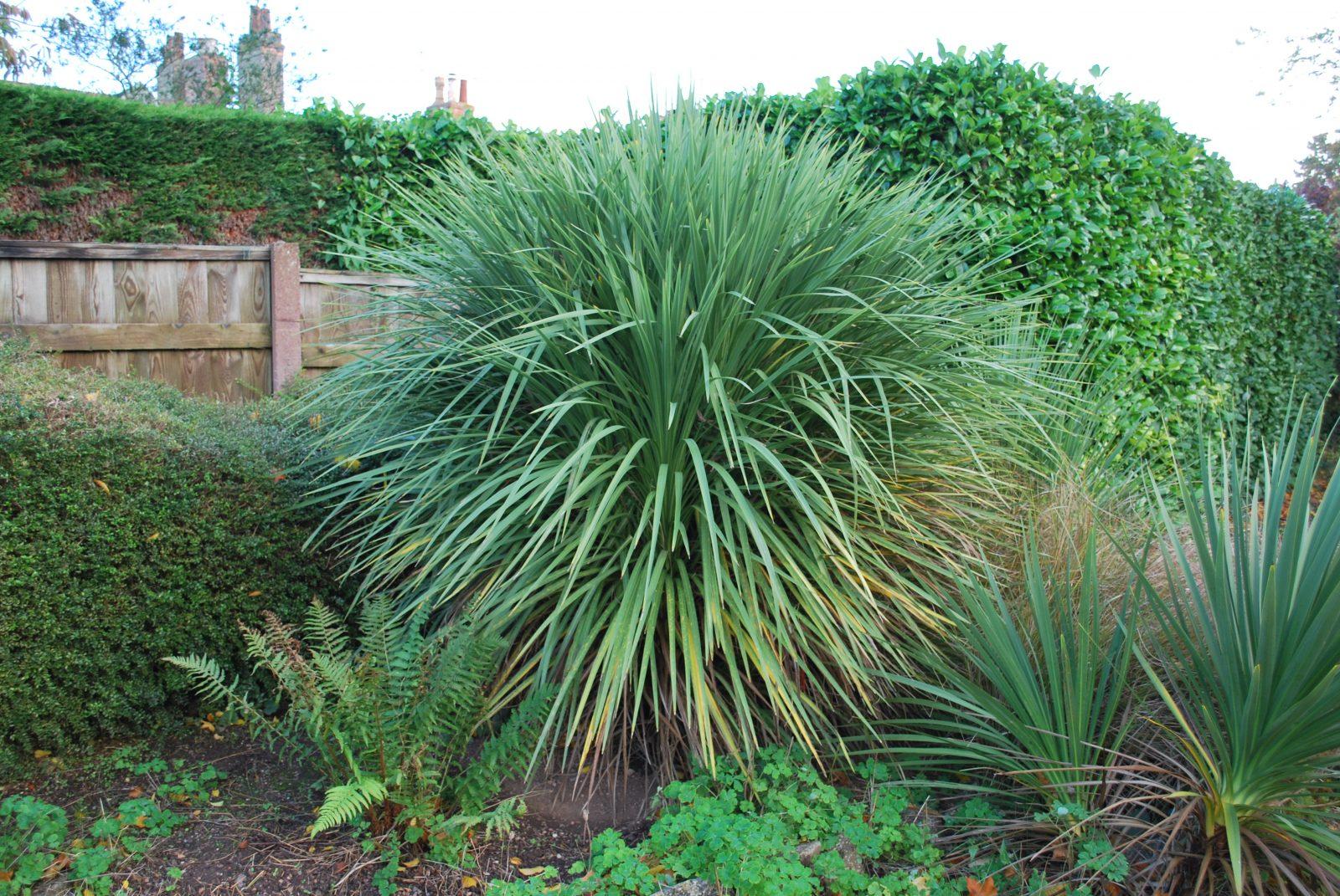 Cordyline Australis Garden Shrubs For Sale Uk Letsgoplanting Co Uk