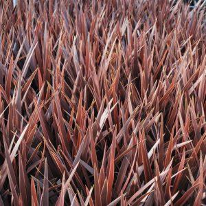 Cordyline 'Torbay Red'