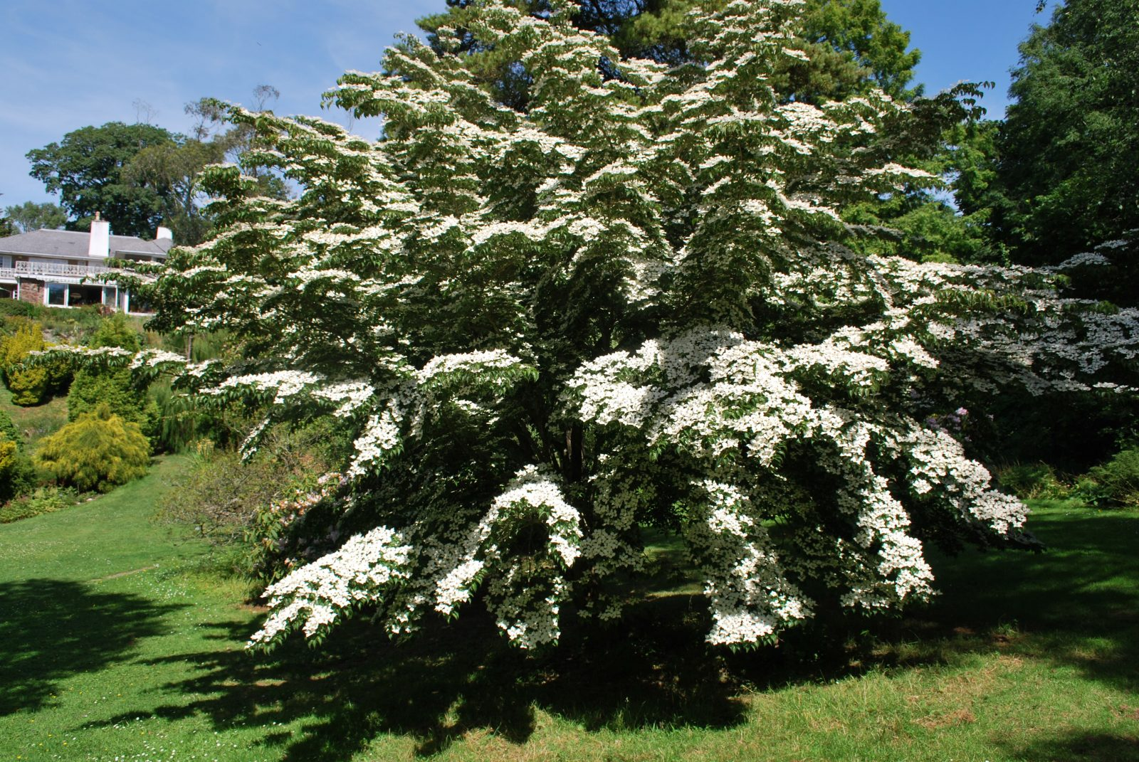 cornus kousa chinensis let 39 s go planting. Black Bedroom Furniture Sets. Home Design Ideas