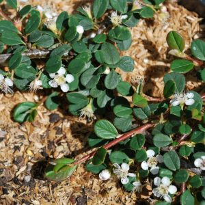Cotoneaster Queen Of Carpets