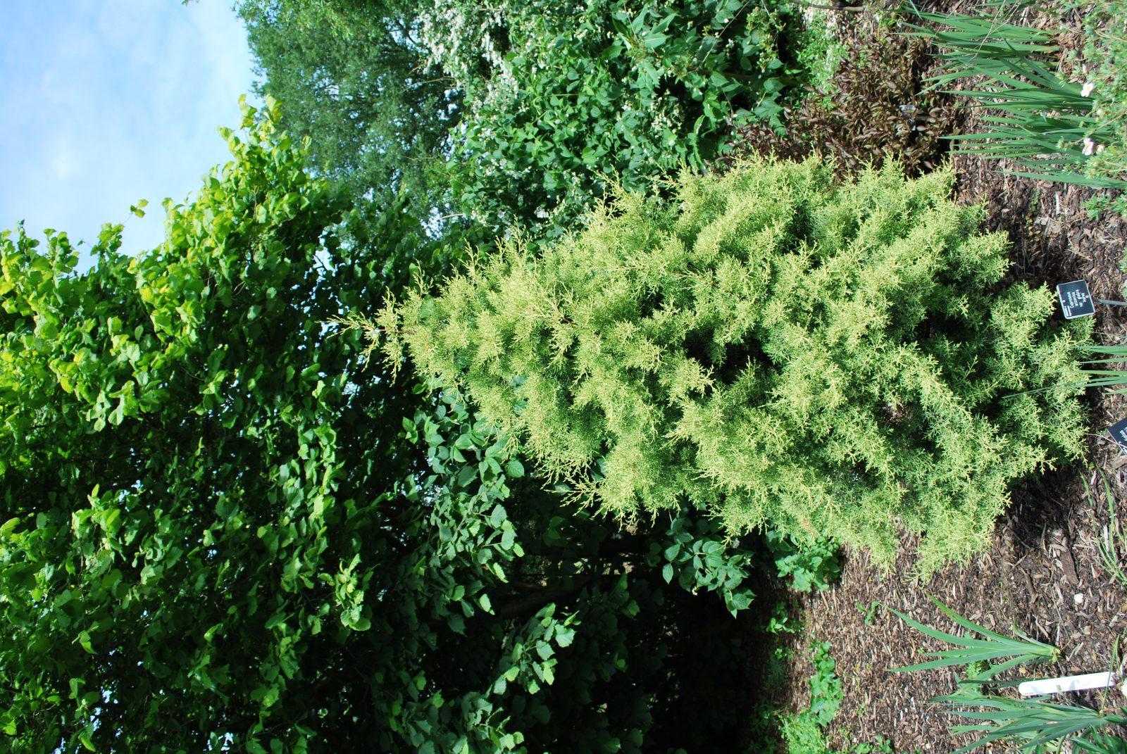 Cupressus Glabra 'Aurea'