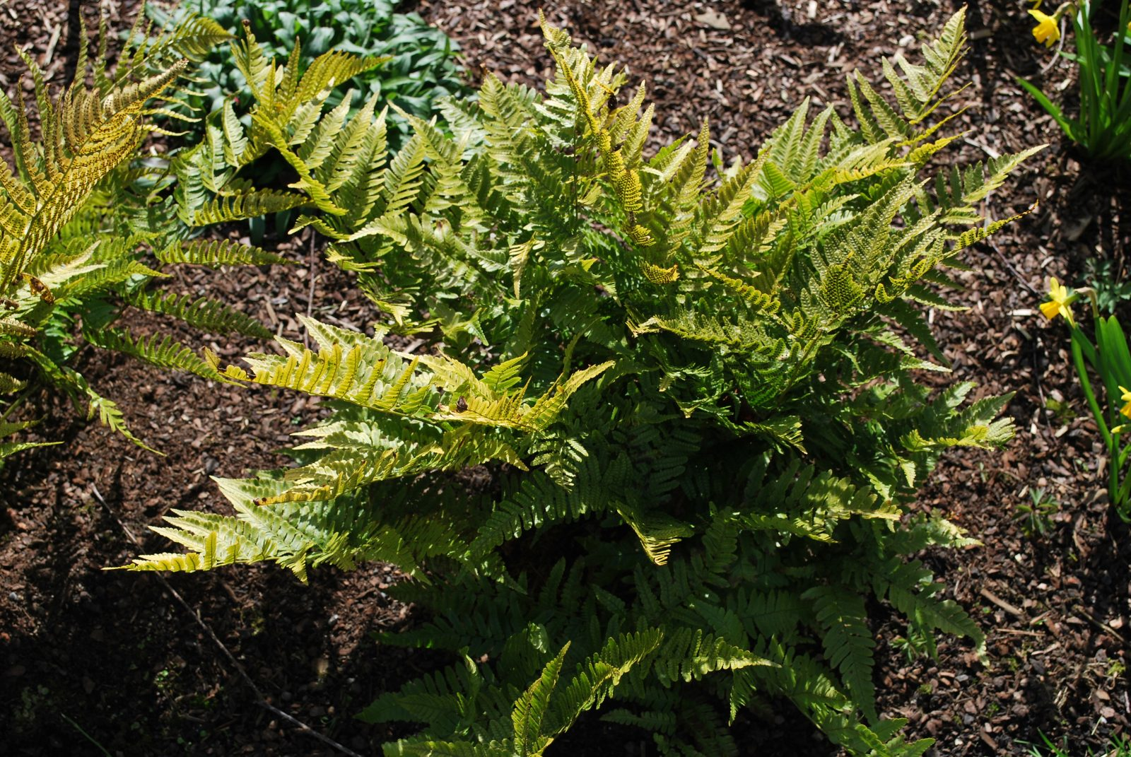 Dryopteris Erthrosora