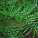 Dryopteris 'Linearis Polydactyla'
