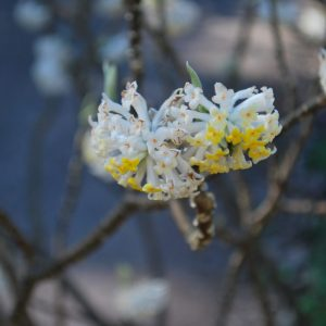 Edgeworthia Chrysantha Frederic