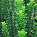 Euonymus Green Rocket