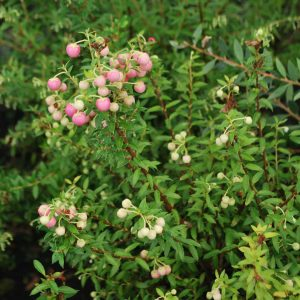 Gaultheria 'Pink Pearl'