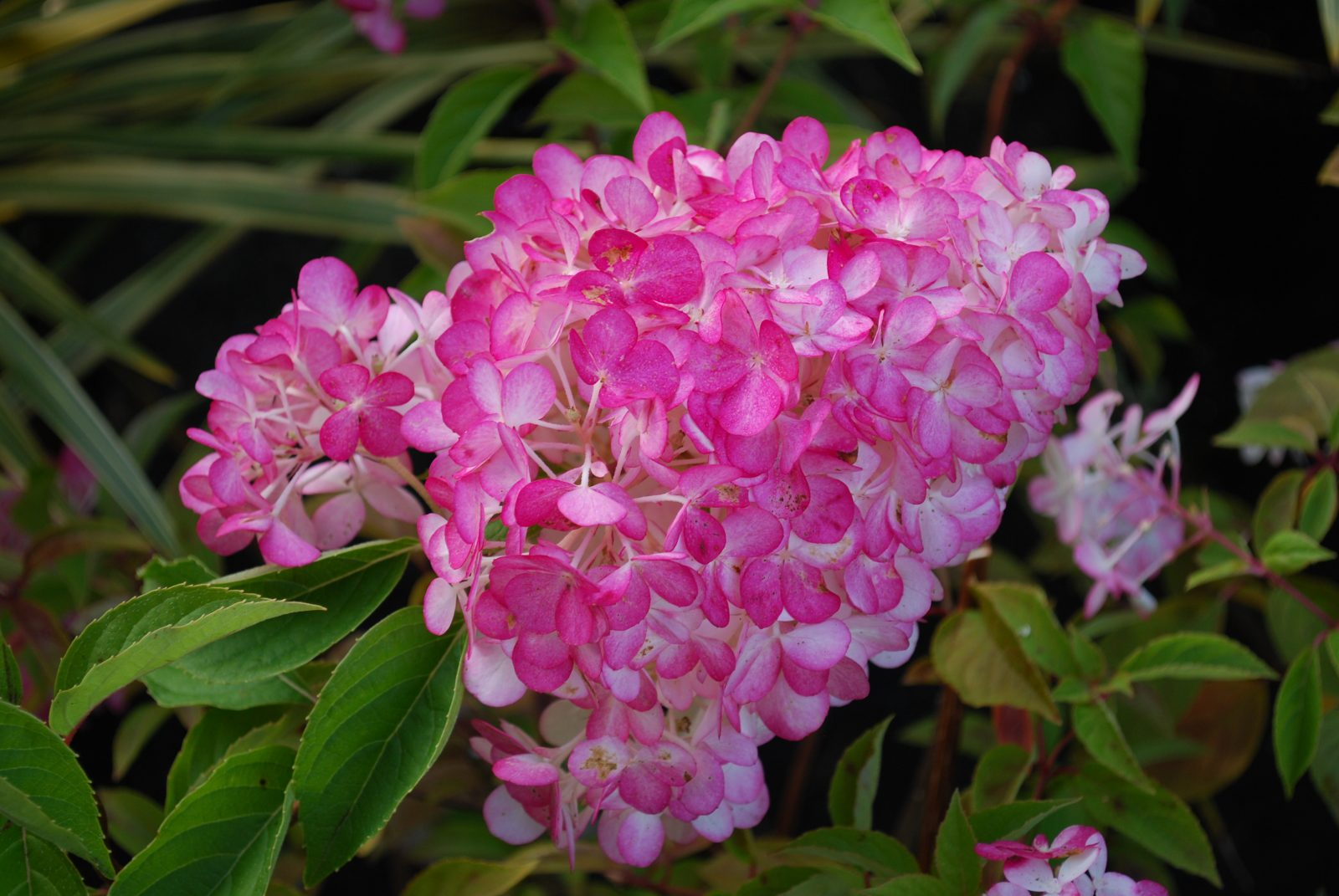 Hydrangea Paniculata Sundae Fraise - Let\'s Go Planting