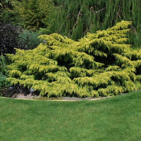 Juniperus Old Gold