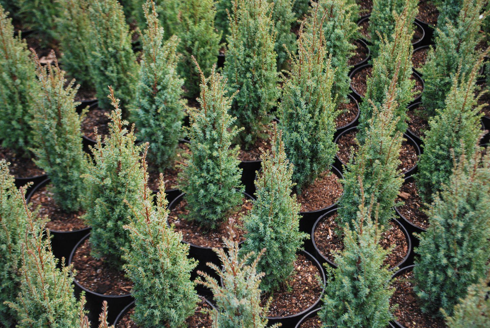 Juniperus Compressa