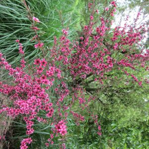 Leptospermum Nanum Kiwi