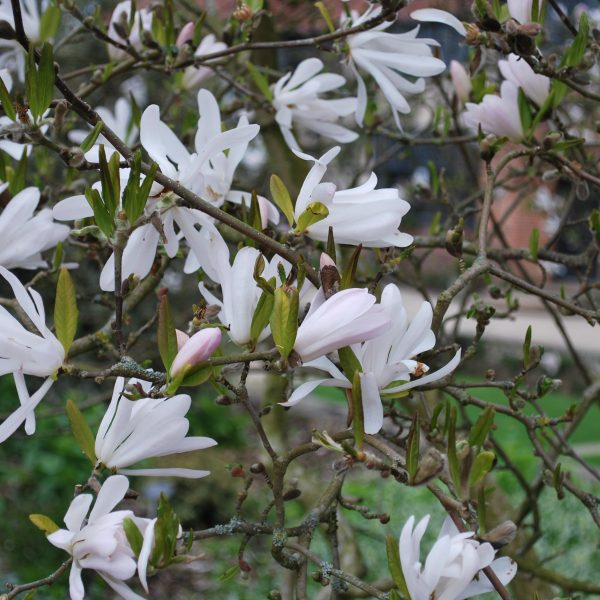 Magnolia Stellata Rosea Star Magnolia Shrubs For Sale