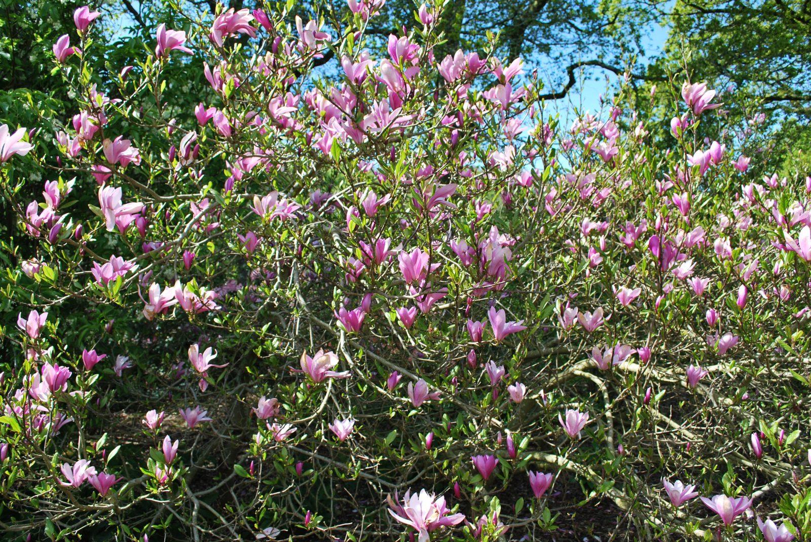 Magnolia Susan Purple Tulip Tree Shrubs For Sale Letsgoplantingcouk